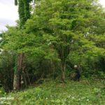 柿の木伐採