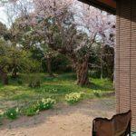 リンクテラス五分咲き桜