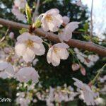 六分咲きの桜
