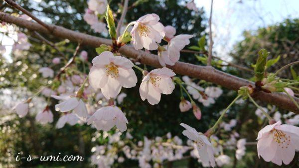 六分咲き桜 2020.4.9