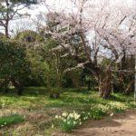 風の丘の七分咲き桜