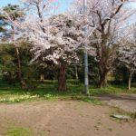 庭の八分咲き桜