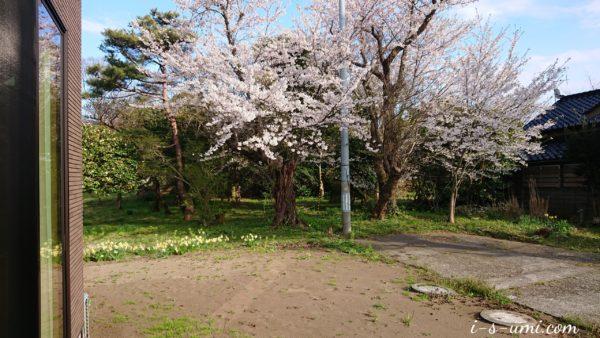 庭の八分咲き桜 2020.4.11
