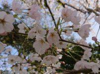風の丘 満開の桜