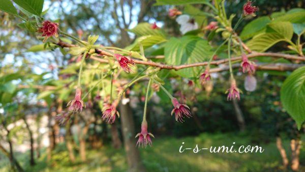 桜蕊  2020.5.2