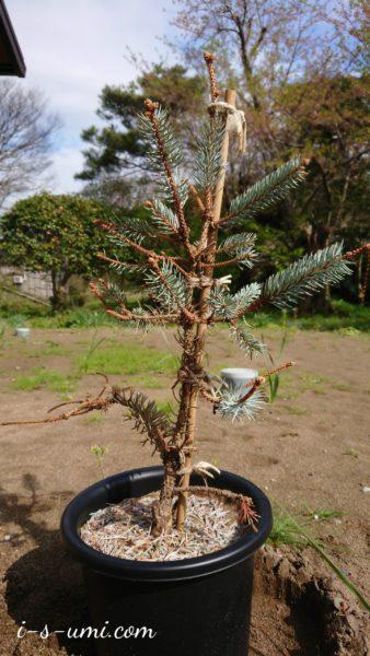 もみの木の王様 プンゲンストウヒホプシー 2019.10.20
