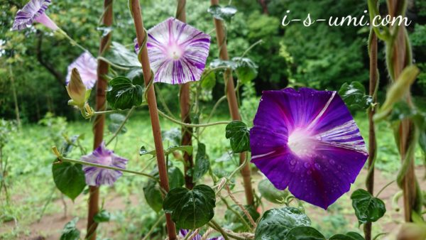 夏のリンクテラス  江戸風情 2020.8.1