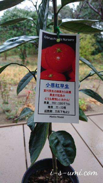 みかん小原紅早生 2020.12.4