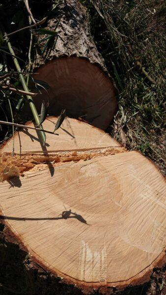 樹齢100年ケヤキ伐採 切り株 2021.4.8