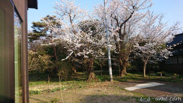 満開の桜 2021.4.3