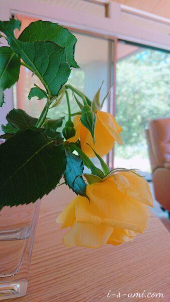 萎れかけたバラ 2021.5.28