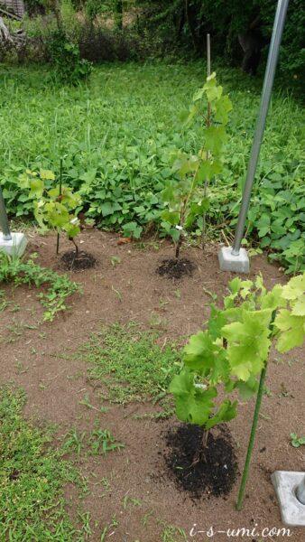 ぶどう苗木の移植