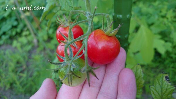 ミニトマトうす肌